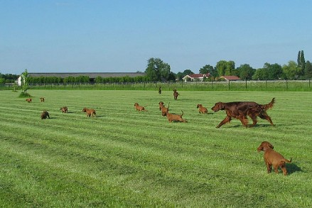 Ierse Setter Fawlty & Jones Puppy's de achtste week