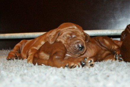 Ierse Setter Fawlty & Jones Puppy's de tweede week