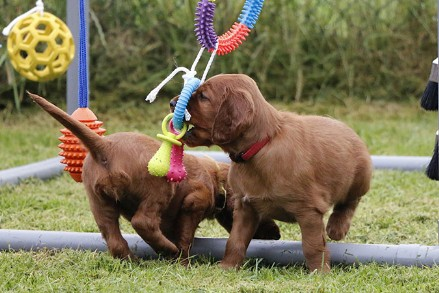 Ierse Setter Fawlty & Jones Puppy's de zesde week
