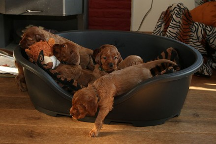 Ierse Setter Fawlty & Jones Puppy's de vierde week