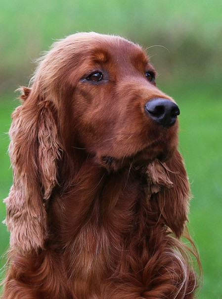 Ierse Setter Fawlty & Jones Images and Words