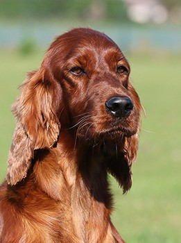 Ierse Setter Fawlty & Jones Natural Selection